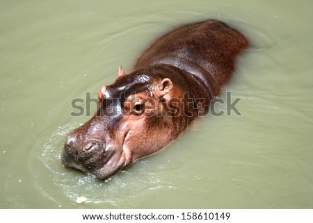 Hippopotamus, South Africa - stock photo
