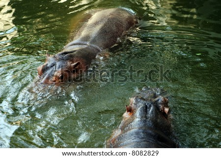 Hippopotamus swimming in a pond. - stock photo