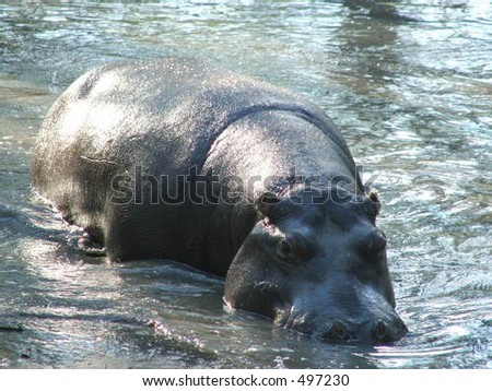 Hippopotamus swimming out of water in private zoo Plavnica, Montenegro