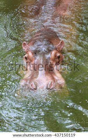 hippopotamus to soaking water the wildlife animal in Africa. - stock photo