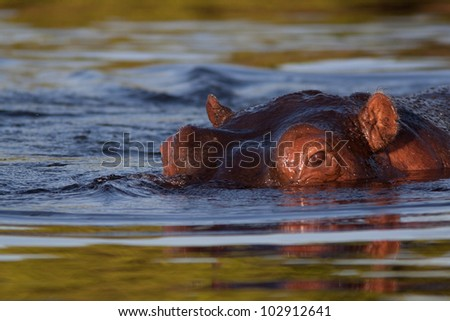 hippopotamus under water - stock photo