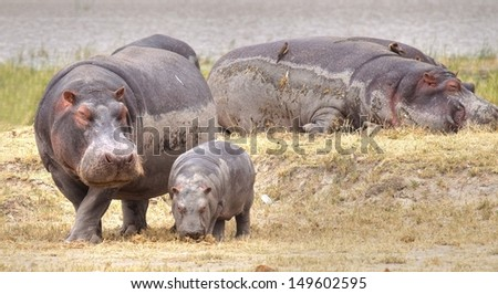 hippopotamus with a little baby hippo in the savannah of Africa  - stock photo