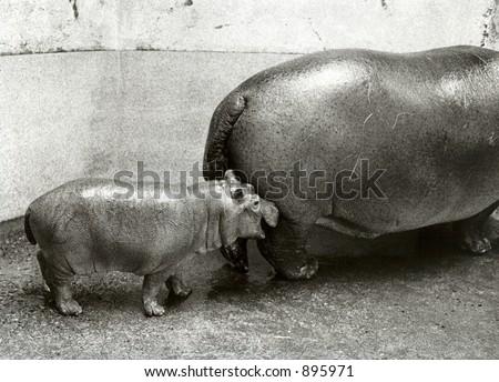 Hippopotamus with baby - Dublin Zoo - Ireland. Analog capture on TMZ - silvergrains to be seen. - stock photo