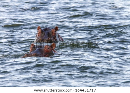 Hippopotamus with heads partially above the water - stock photo