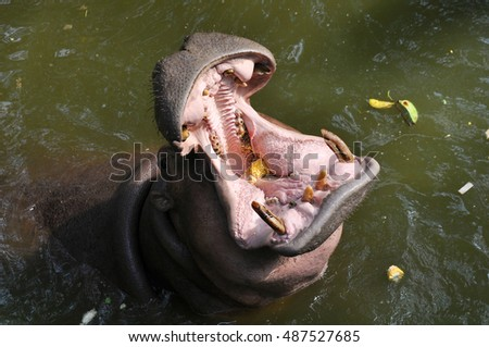 Hippopotamus with open mouth in the pond