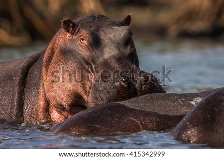 Hippopotamuses (Hippopotamus amphibius) swimming in water, Africa. Close up - stock photo