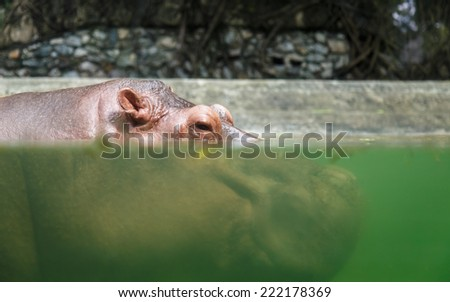 Hippopotamuses in water - stock photo