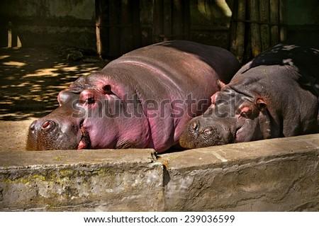hippopotamuses sleeping zoo - stock photo