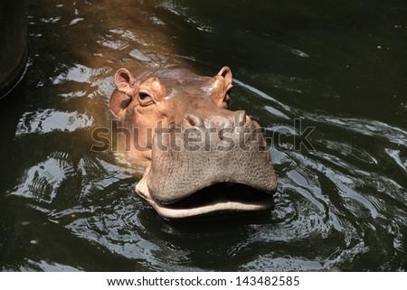 Hippos feeding at a zoo in Thailand. - stock photo