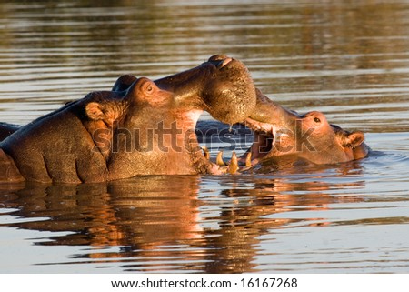 Hippos fighting (Hippopotamus amphibius) - stock photo