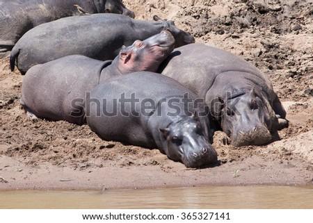 Hippos (Hippopotamus amphibious) on river bank in Masai Mara Reserve, Kenya, Africa  - stock photo