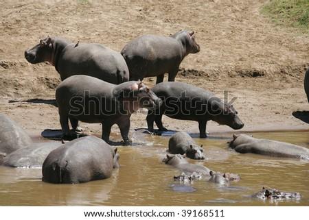 Hippos in the muddy mara river - stock photo