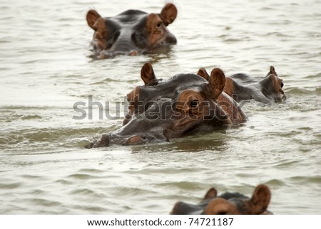 Hippos, Selous Game Reserve, Tanzania - stock photo