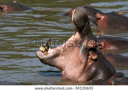 Hippos - Serengeti Wildlife Conservation Area, Safari, Tanzania, East Africa - stock photo