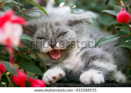 Hissing kitten sitting in flowers - stock photo