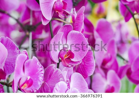 HO CHI MINH CITI, VIET NAM: 18 JAN 2016 - Beautiful orchid flowers in the garden.