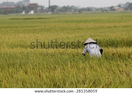 HOA BINH VIETNAM May 22 2015 An unidentified farmer are harvesting rice and carries rice from the farm home in Hoa Binh, Vietnam. Hoa Binh is a biggest rice stock in north Vietnam