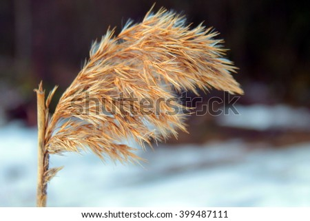 Hoar frost on reed in a winter landscape - stock photo