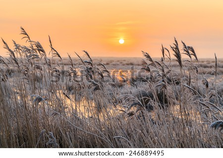 Hoar frost on reed in a winter landscape at sunset in Holland - stock photo