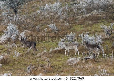 Hoarfrost and fallow deer standing in nature