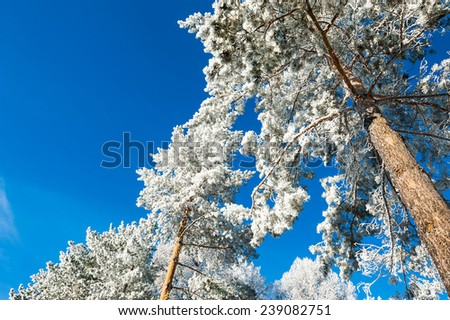 Hoarfrost and snow on the pine trees in winter forest. Beautiful winter landscape.  - stock photo