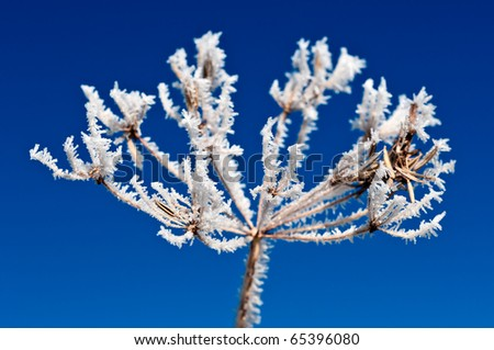 Hoarfrost on a plant. The sky is beaming blue