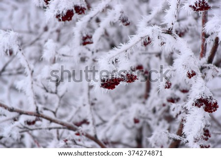 Hoarfrost on mountain ash branches  - stock photo