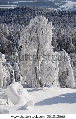 Hoarfrost on the birch tree on slope of the Kirel mountain with deep snow on the backdrop of the fir forest in a sunny winter day, South Urals, Russia. - stock photo