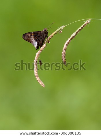 Hoary Edge Skipper (Achalarus lyciades) Butterfly perched on some grass - stock photo