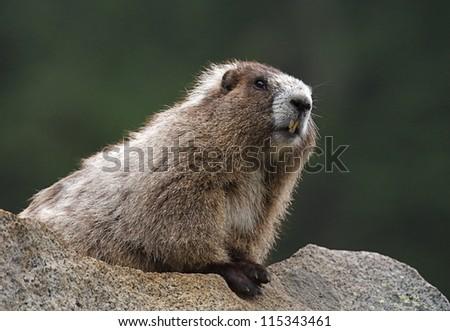 Hoary Marmot along a hiking trail; Mount Rainier National Park, Washington; Pacific Northwest alpine wildlife - stock photo