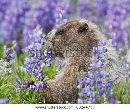 Hoary Marmot Eating Lupine