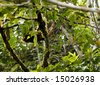 Hoatzin (Opisthocomus hoatzin) perched in the rainforest understory - stock photo