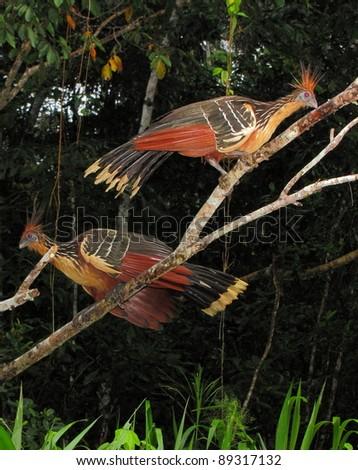 Hoatzins in Yasuni National Park, Amazon, Ecuador. - stock photo
