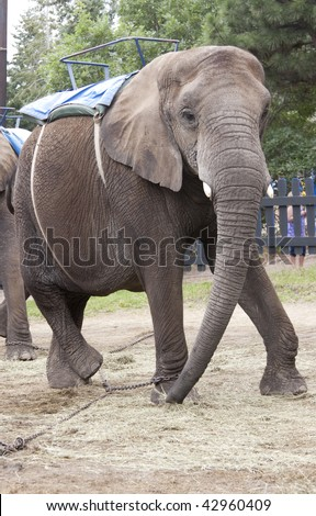 Hobbled working Elephant - stock photo