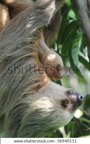 hoffmans two toed sloth female adult with baby, costa rica - stock photo