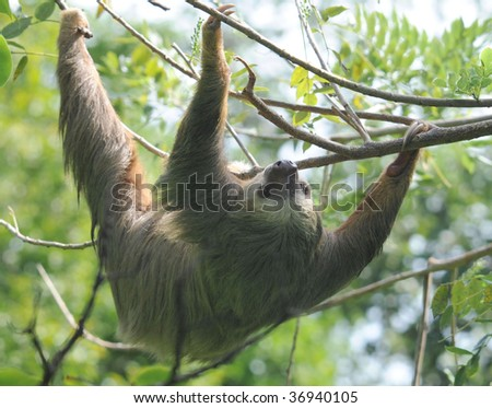 hoffmans two toed sloth upside down in tree, cahuita, costa rica , central america exotic mammal in tropical jungle - stock photo