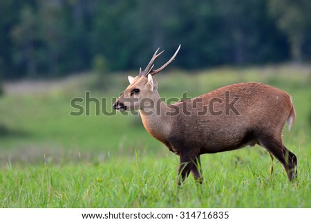 hog deer stand alone on grassland, animal on Thailand - stock photo
