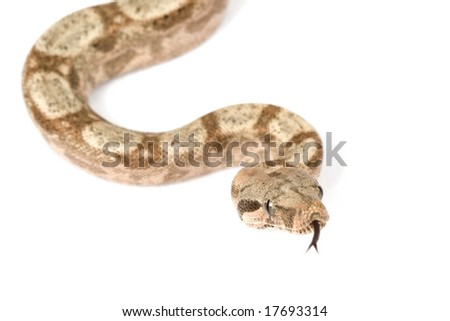 Hog Island Boa (Boa constrictor imperator) on white background.