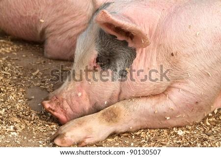 Hog sleeping among wood shavings - stock photo