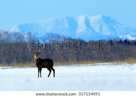 Hokkaido sika deer, Cervus nippon yesoensis, in the snow meadow, winter mountains and forest in the background, animal with antler in the nature habitat, winter scene, Hokkaido, Japan - stock photo