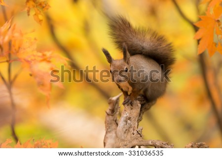 Hokkaido Squirrel in Autumn Forest. - stock photo