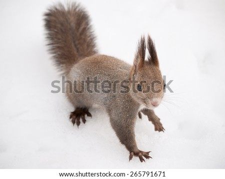 Hokkaido Squirrel on snow field. - stock photo