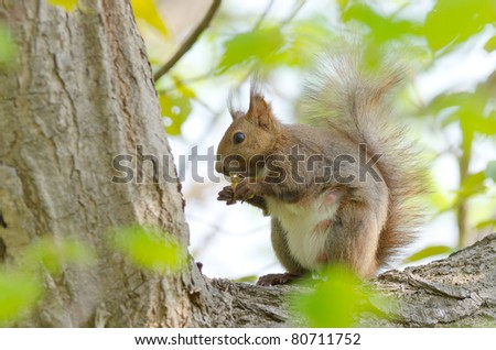 Hokkaido Squirrel on the tree.