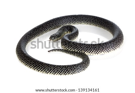 Holbrooki speckled king snake with tongue sticking out on white background