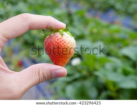 hold strawberry in hand at strawberry farm - stock photo
