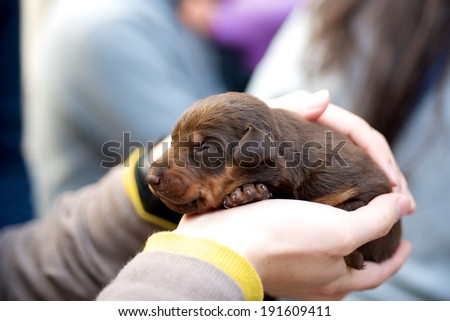 Holding brown puppy dog that is resting in a human hand - stock photo