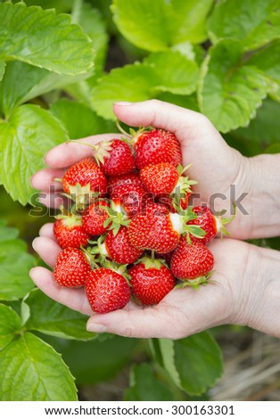 Holding Freshly Picked Strawberries