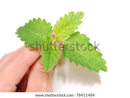 Holding with new mint herb