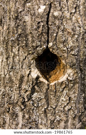 Hole in a poplar tree trunk caused by woodpecker activity