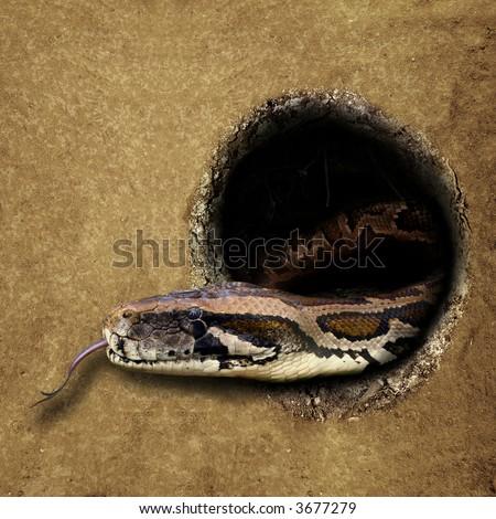 Hole in the ground.  Snake - Burmese Python [Python molurus bivittatus]. - stock photo